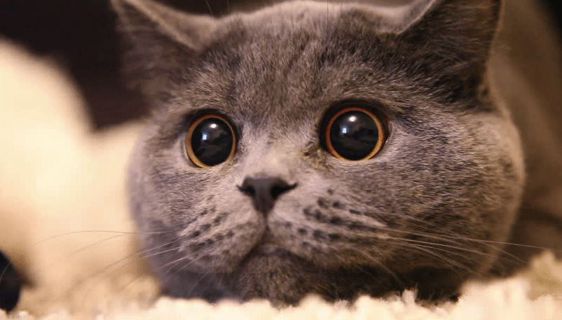 Cats Eyes Always Dilated Should I Be Worried Pawsome Kitty