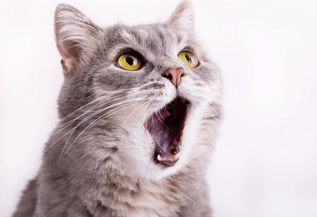 tapeworm in cats symptoms